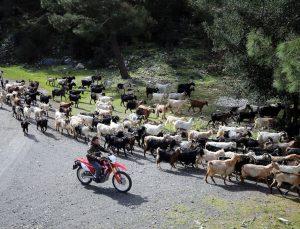 """Bodrum'un """"teknolojik çobanı"""" sürüsünü """"drone"""" ile takip ediyor"""