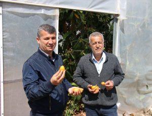 Mersin'de örtü altında yenidünya hasadına başlandı