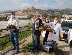 Antalya'da tedavileri tamamlanan üç şahin doğaya salındı