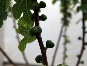 Aydın'da serada incir üretilmesi için yürütülen projede ağaçlar meyve vermeye başladı