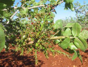 İlkbahar yağmurları kuraklık korkusu yaşayan Antep fıstığı üreticilerini memnun etti