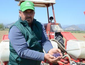 İncirliova'da pamuk üreticisi kuraklıktan dolayı ayçiçeğine yöneldi