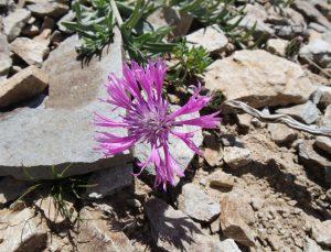 Malatya'daki Yama Dağı'nda yeni bir peygamber çiçeği türü keşfedildi
