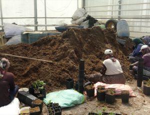 Afyonkarahisar'da jeotermal ısıtmalı serada üretilen meyve fidanları, yurt dışına gönderiliyor