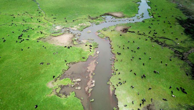 Bitlis'te havaların ısınmasıyla yeşeren meralar koyun sürüleriyle şenlendi