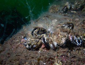 """Denizlerdeki tehlike """"müsilaj"""" suyun altında varlığını sürdürüyor"""