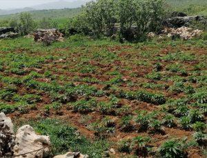 Diyarbakır'da 102 bin 600 kök kenevir ele geçirildi