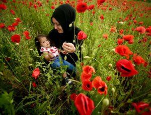 Düzce'de tarlaları kırmızıya boyayan gelincik çiçekleri şenliği