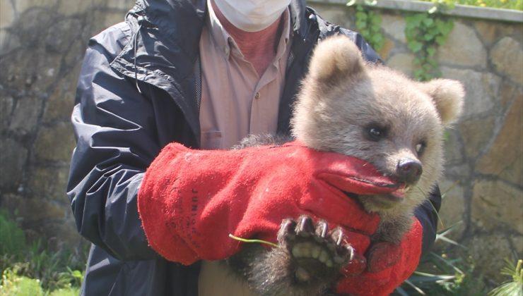 """Giresun'da ayı yavrusu """"Pamuk"""" koruma altına alındı"""