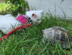 Kaplumbağa gören Van kedisinin şaşkınlığı