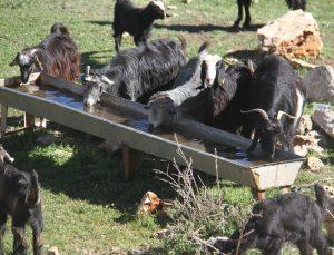 Suların çekildiği Beyşehir Gölü'nde besiciler hayvanların su ihtiyacını kuyulardan karşılıyor