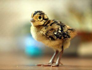 Yaban hayatını geliştirmek için doğaya salınacak sülünler yumurtadan çıkmaya başladı